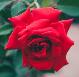 Rose Rouge / Esprit Amour Harmonie Divine